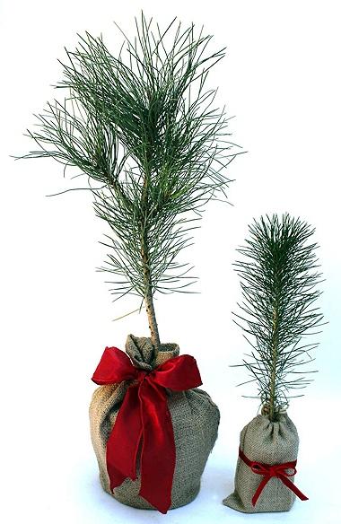 Món quà ý nghĩa từ cây thông Noel mini
