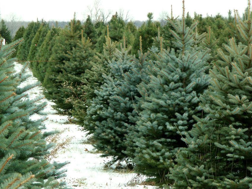 Bạn nên chọn những cây thông còn tươi, có tán lá rộng
